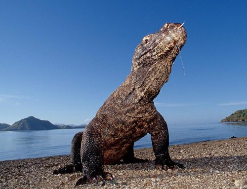 EXOTIC, ANCIENT, OTHERWORLDLY, A REAL-LIFE JURASSIC PARK. KOMODO IS OPEN
